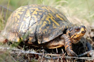 Box Turtle - Photo by Lori Erb
