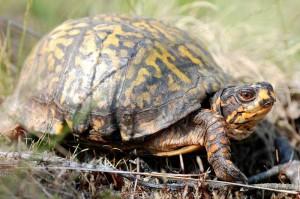 Box Turtle - Photo by Lori Erb