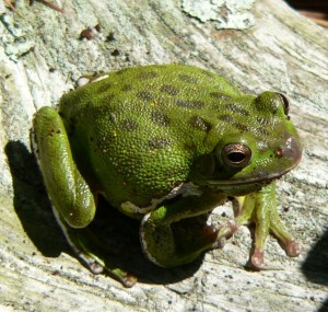 Hyla_gratiosa1_VA_JohnKleopfer