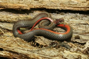 Northern Red-bellied Snake2_PA_Charlie Eichelberger