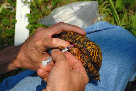 Blood sample from box turle for disease monitoring. Photo by Lori Erb.