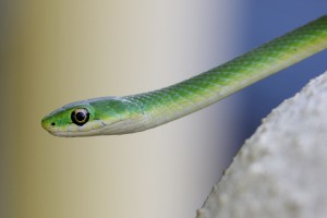 northern rough green snake(1)_MD_Seth Berry