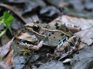 AtlanticCoastLeopardFrog_Virginia_Kleopfer_flippedcropped